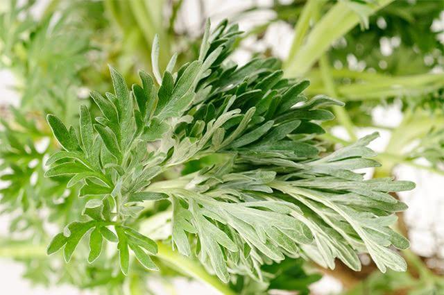 Absinto é um tônico com alto poder de estímulo digestivo