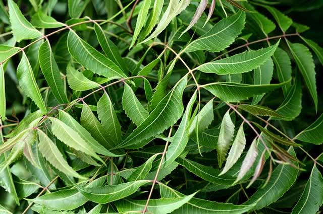 As folhas de Neem possuem propriedades que combatem fungos e bactérias
