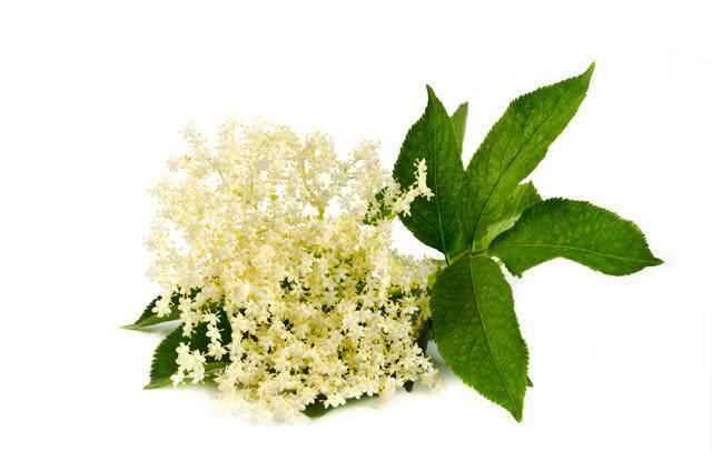 Remédio caseiro à base de sabugueiro contra tosse