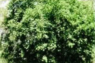 Propriedades da Guaçatonga (casearia sylvestris)