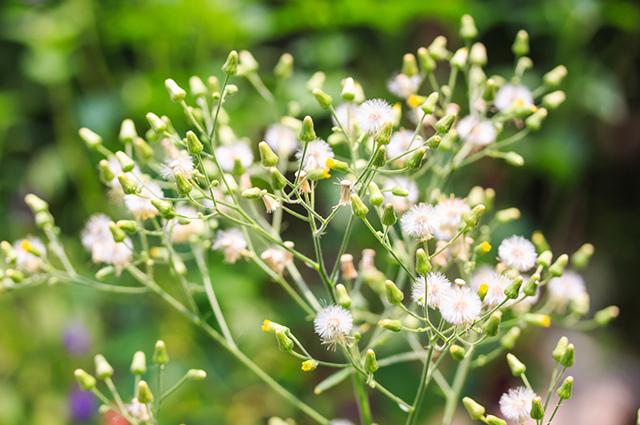 Ramos e flores da planta assa peixe