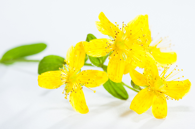 Flores de erva de São João