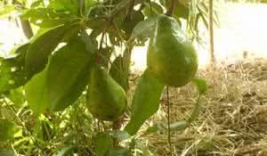 abacate-beneficios-da-fruta-e-do-cha-das-suas-folhas