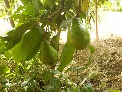 Abacate: benefícios da fruta e do chá das suas folhas