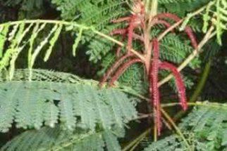 Aprenda como pode ser utilizada a planta barbatimão