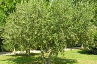 Beba chá de oliveira e emagreça uns quilinhos!