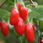 Já ouviu falar em Goji Berries, as bagas antienvelhecimento?