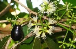 Uma fruta silvestre, roxa, oval, menor que um ovo