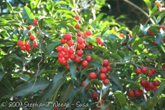 Conheça os benefícios do chá-de-bugre (cordia salicifolia)
