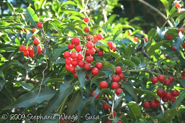 Planta cordia salicifolia