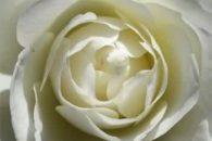 Conheça chás preparados com rosas e saiba para que servem!