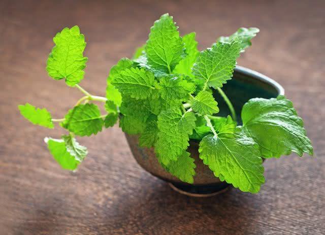 Além de calmante o chá de erva cidreira é também bom para quem precisa reduzir a pressão