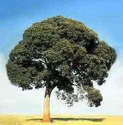 Copaíba - árvore