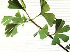 ginkgo-biloba-planta
