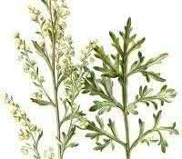 losna-absinto-planta