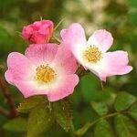 Será que o óleo de rosa mosqueta elimina as estrias?