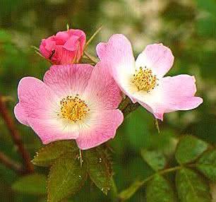 Rosa mosqueta - Seu óleo trata estrias