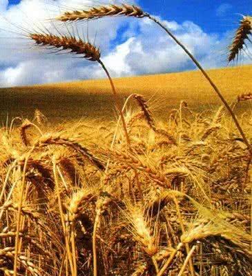 Trigo, conheça os diversos benefícios de sua semente