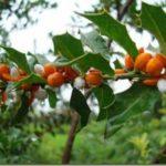 Espinheira-santa – benefícios do chá deste santo remédio!