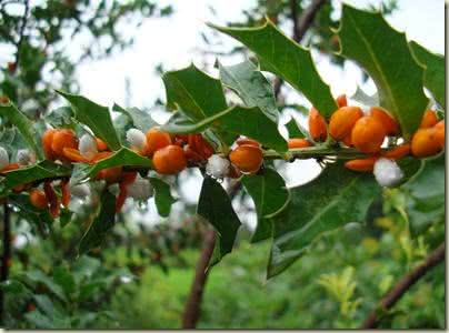 Espinheira-santa, uma planta repleta de propriedades