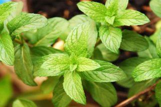 Hortelã, uma erva repleta de benefícios