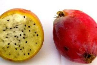 Doce do deserto – fruta koubo ajuda a emagrecer