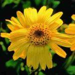 Arnica – propriedades do chá e pomada desta planta