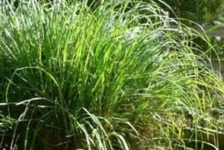 Capim-santo: benefícios à saúde (da planta e do chá)
