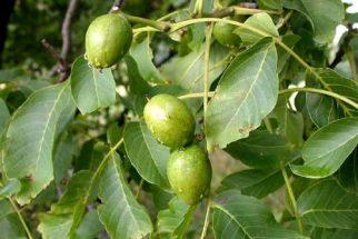 Nogueira – veja os benefícios e propriedades desta planta