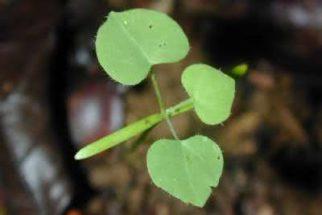 Orelha-de-onça – santo remédio para problemas respiratórios