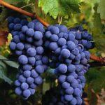 Farinha de uva – benefícios para saúde e perda de peso