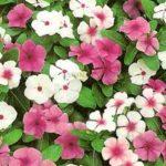 Vinca, uma planta repleta de benefícios