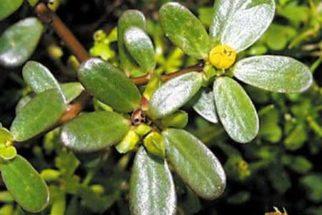 Beldroega – propriedades desta planta