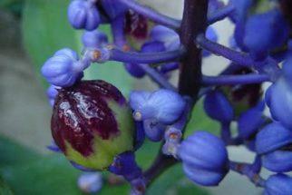 Cana-de-macaco – propriedades e benefícios desta planta