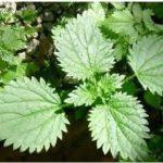 Urtiga – planta que se usada do jeito certo tem muitos benefícios