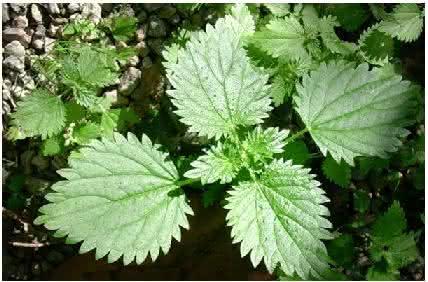 Urtiga planta que se usada do jeito certo tem muitos for Mecanismos de estores caseros