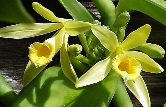 BAUNILHA – Da flor à aromática fava