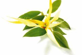 Descubra os poderes da planta Ylang Ylang