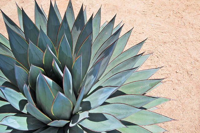 Planta agave