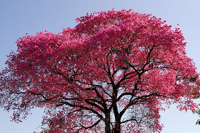 Copa com flores do ipê roxo