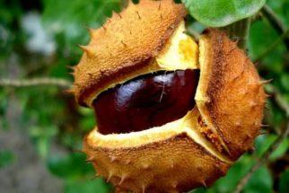 Castanha da Índia – Benefícios e propriedades desta semente