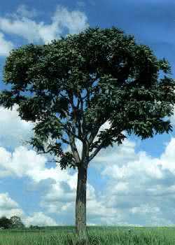 Árvore da qual se extrai o óleo de Cedro