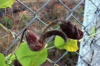 Cipó mil homens – Para que serve essa planta?