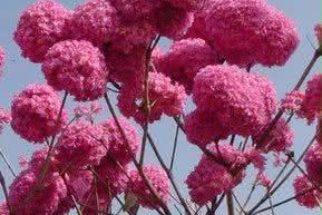 Ipê roxo futuramente será um forte aliado contra o câncer