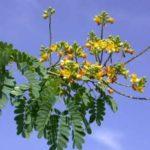 Pau ferro: quais os benefícios desta planta?