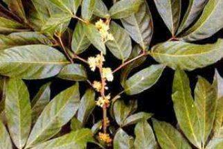 Marapuama – Para que serve esta planta
