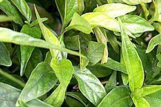 Conheça os poderes da planta Anador