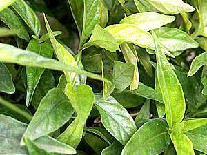 Planta Anador