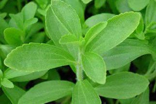 Planta Stévia é um adoçante natural muito saudável