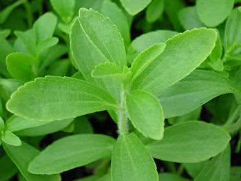 Planta Stévia